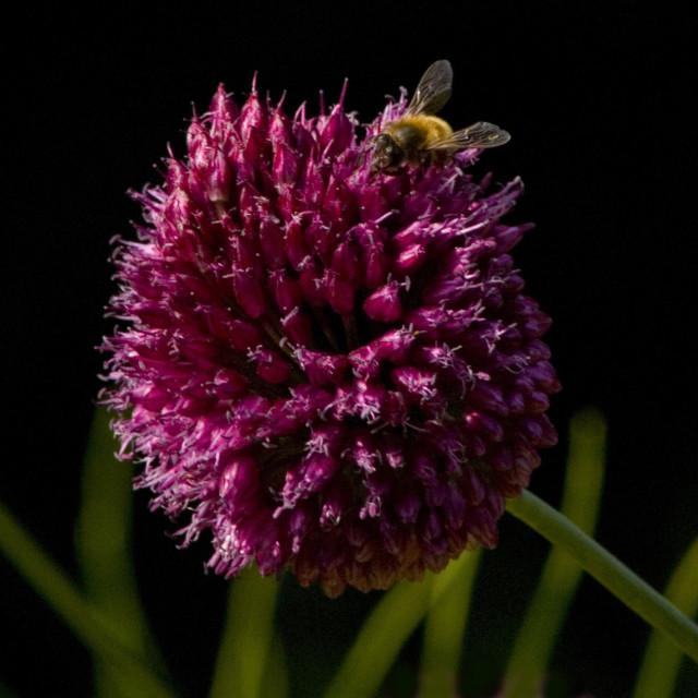 """Allium and bee"" stock image"