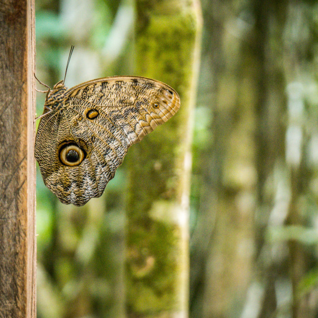 """Amazonian Butterfly"" stock image"