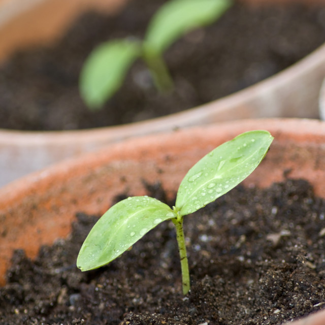 """Seedlings"" stock image"