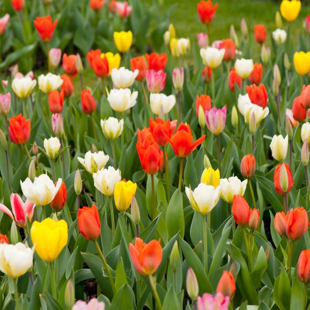 """""""Plenty tulips mix grow in garden"""" stock image"""