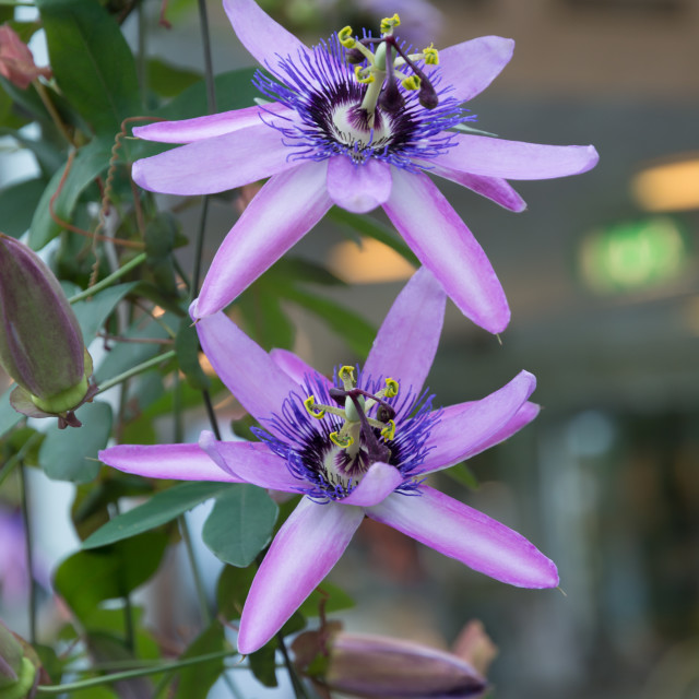 """Two passion flowers"" stock image"