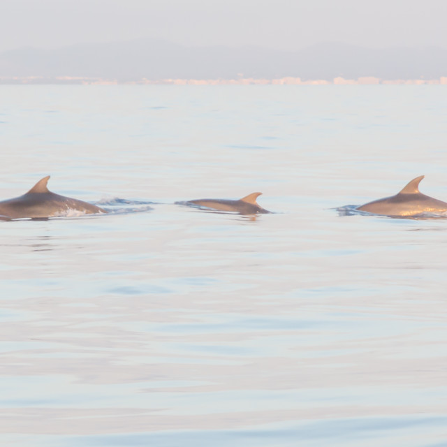 """Three dolphins"" stock image"