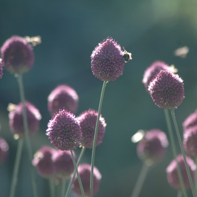 """""""Alliums and Bees"""" stock image"""