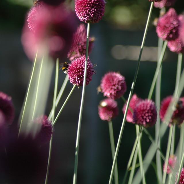 """""""Allium sphaerocephalon and Bee"""" stock image"""