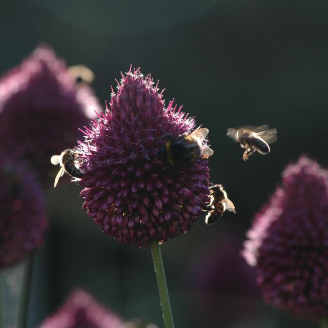 """""""Allium sphaerocephalon and Bees"""" stock image"""