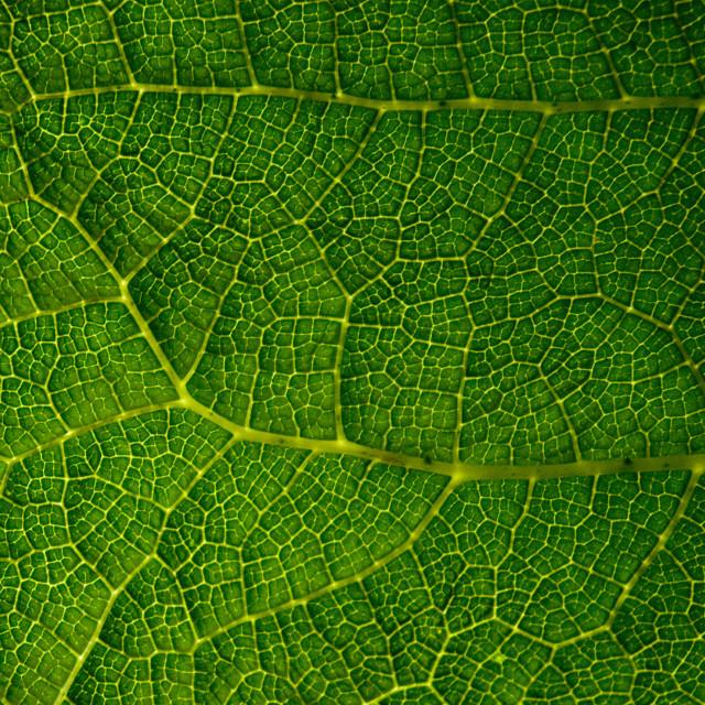 """Gunnera Leaf"" stock image"