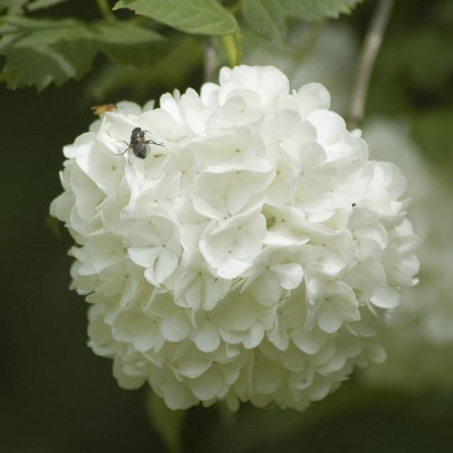 """Viburnum Japanese Snowball"" stock image"
