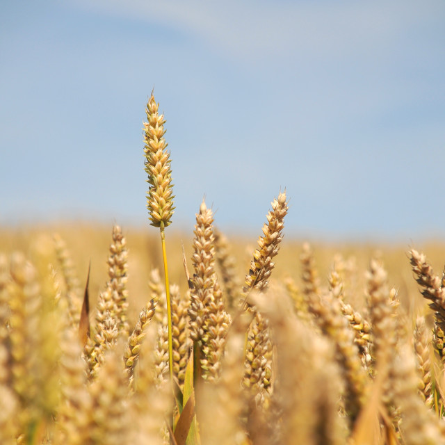 """Wheat Field - Portrait"" stock image"