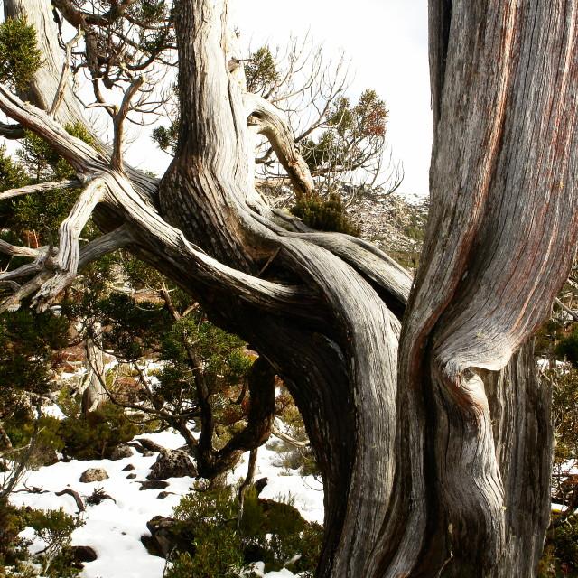"""Huon Pine"" stock image"
