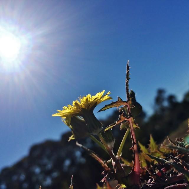 """False Dandelion In The Sun 2"" stock image"