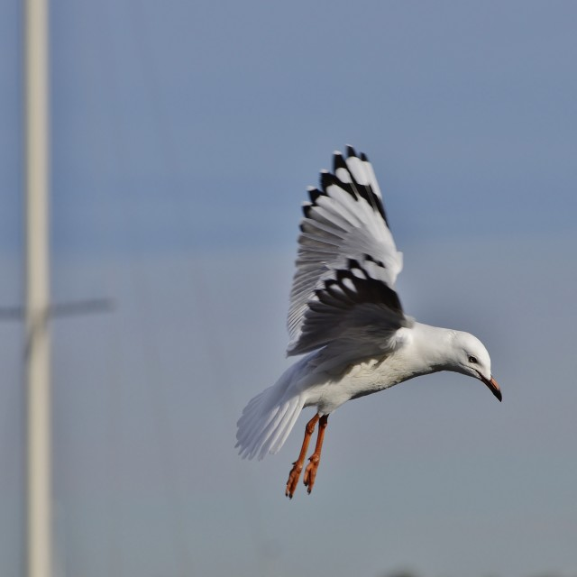"""Silver Gull Flight"" stock image"