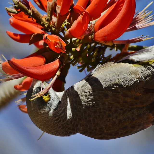 """Noisy Miner Eating Flower Nectar 2"" stock image"