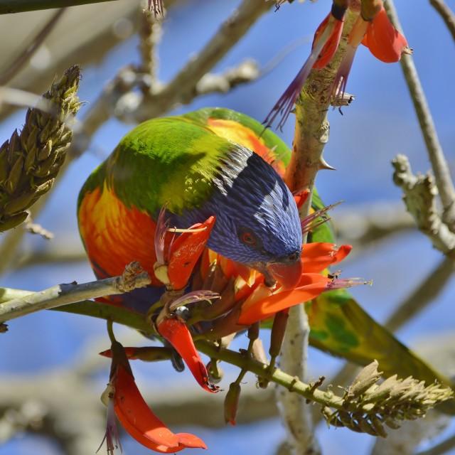 """""""Rainbow Lorikeet On Coral Tree 2"""" stock image"""