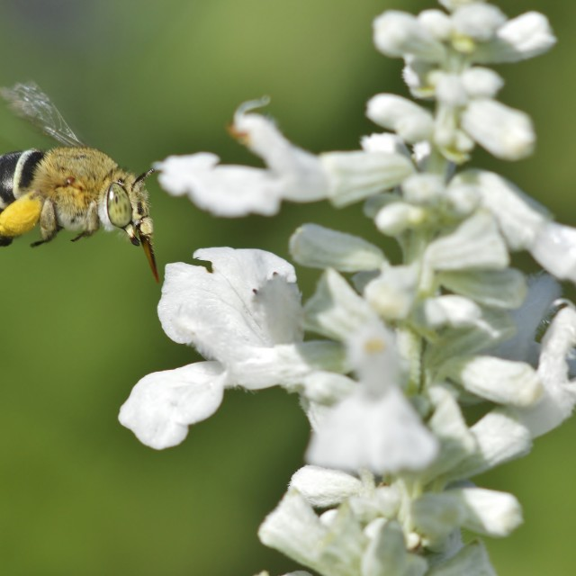 """Blue Banded Bee In Flight"" stock image"