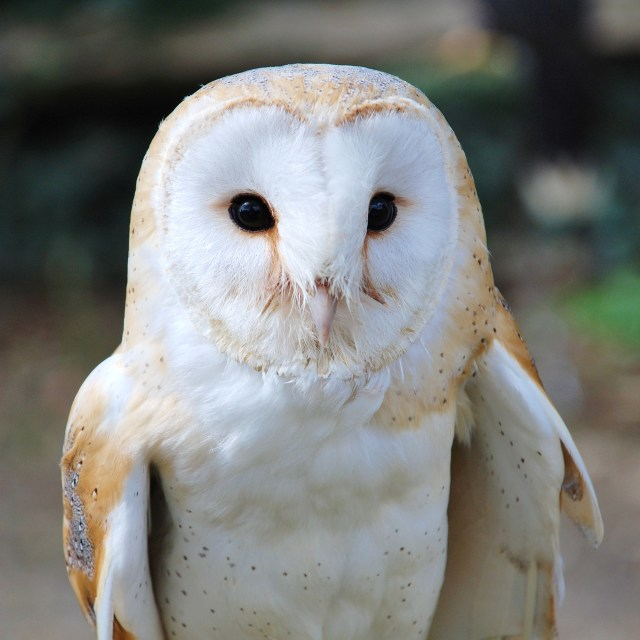 """Common Barn Owl"" stock image"