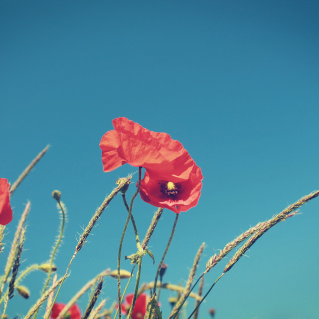 """Poppies I"" stock image"