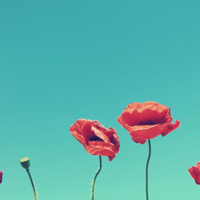 """""""Poppies II"""" stock image"""
