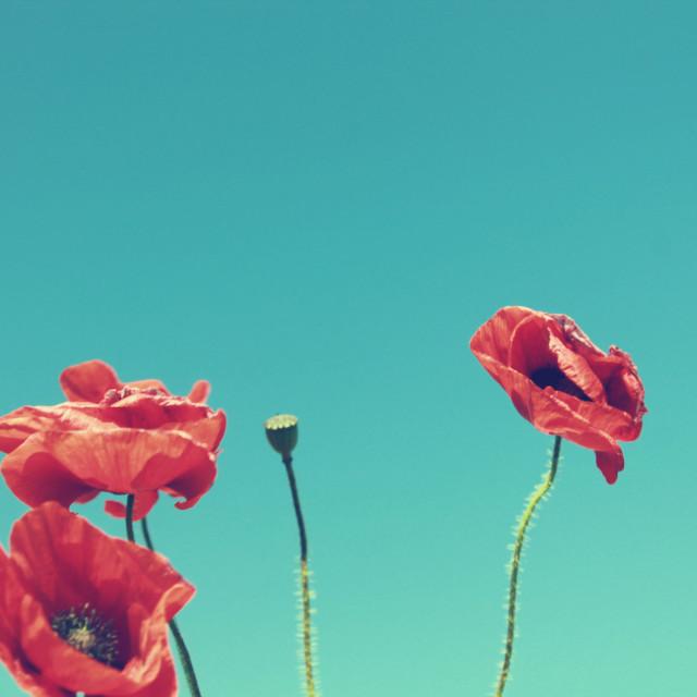 """""""Poppies III"""" stock image"""