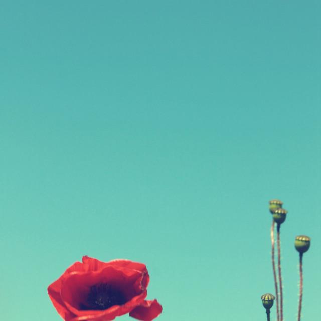 """Poppies IV"" stock image"