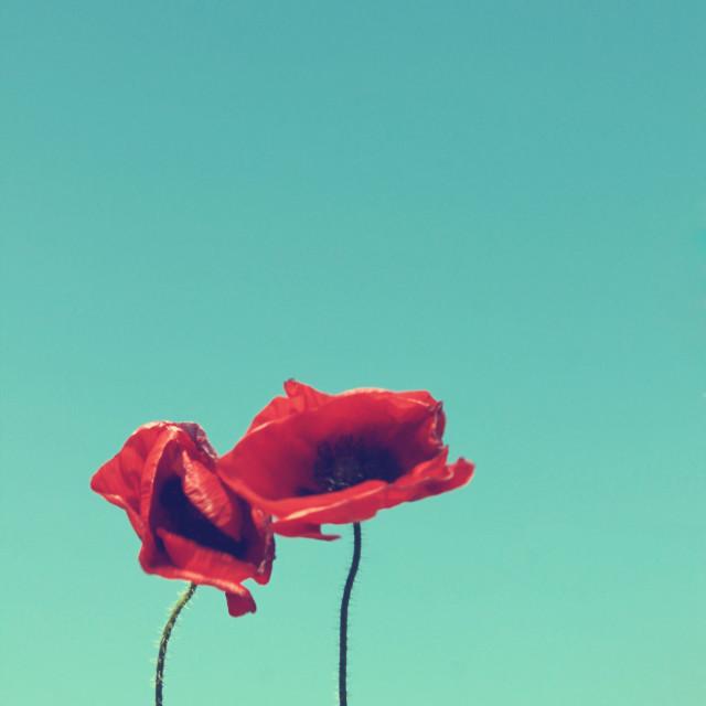 """Poppies V"" stock image"