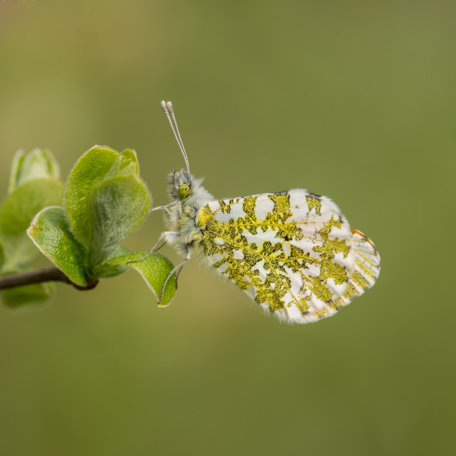"""Male Orange-Tip Butterfly"" stock image"
