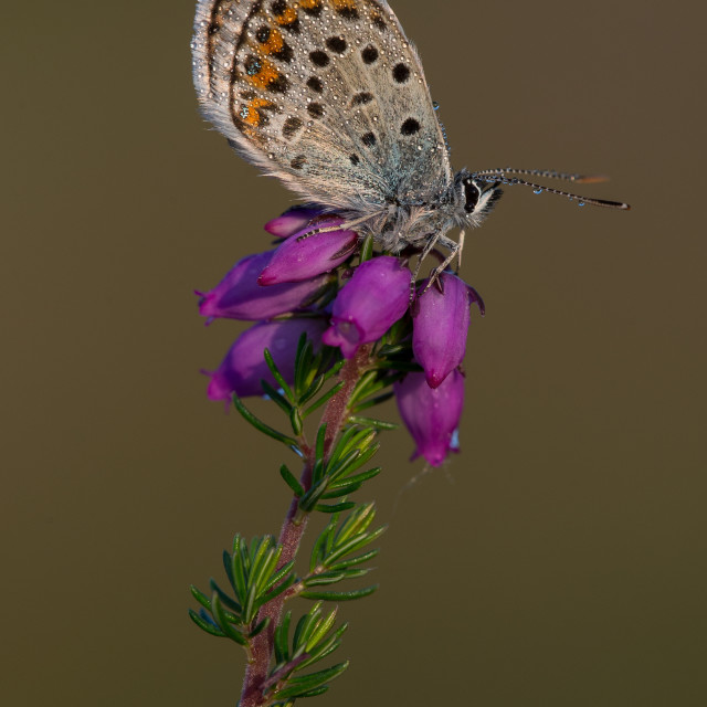 """Silver-studded Blue butterfly on Bell Heather"" stock image"