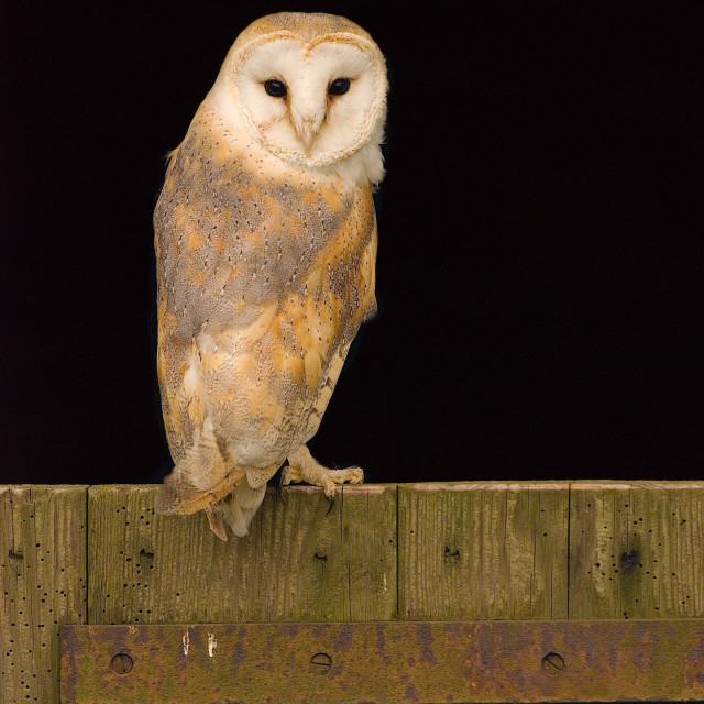 """Barn Owl on stable door"" stock image"