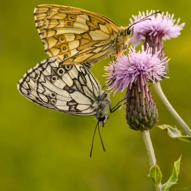 """Pair of Marbled Whites"" stock image"