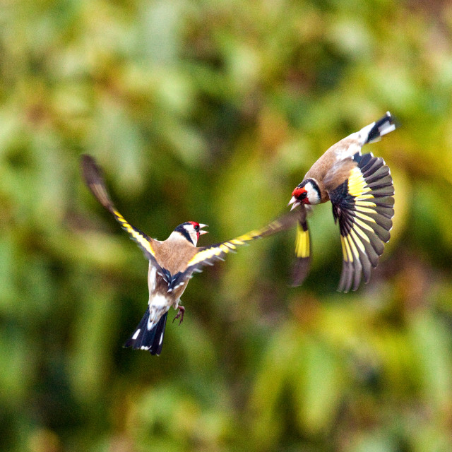 """Arial Combat Fight in Flight"" stock image"