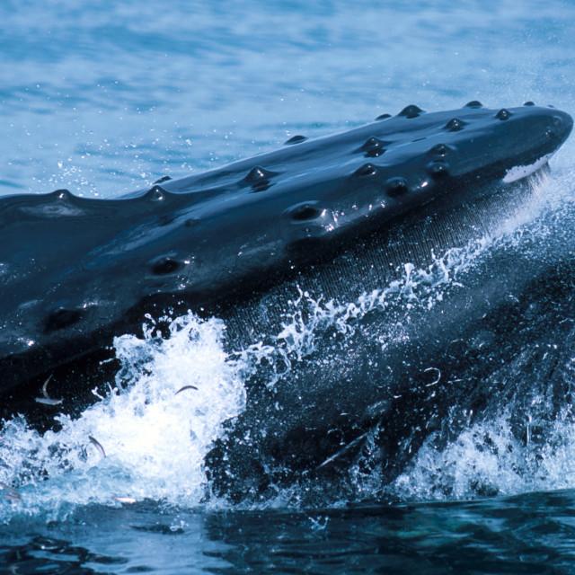 """Humpback whale lunge feeding (Megaptera novaeangliae), Alaska, S"" stock image"