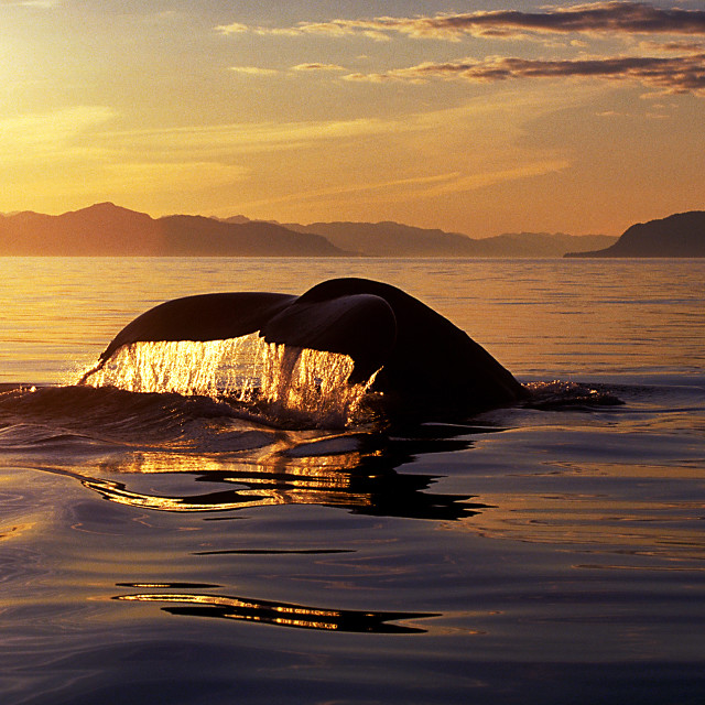 """Humpback whale tail with flowing water backlit by beautiful gold"" stock image"