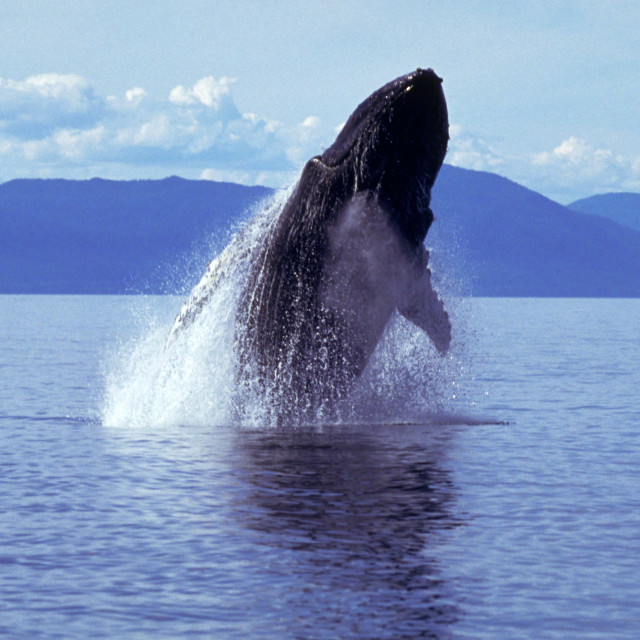 """Humpback whale breaching (Megaptera novaeangliae), Alaska, South"" stock image"