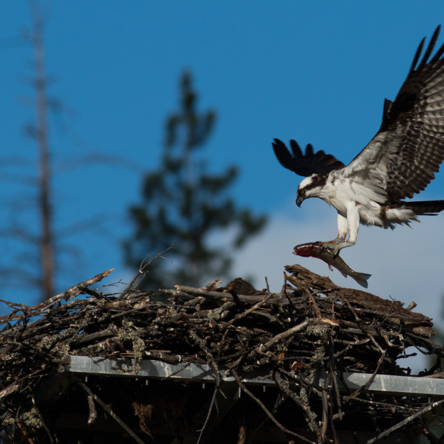 """Osprey brings a huge fish to the nest for a newly hatched chick."" stock image"