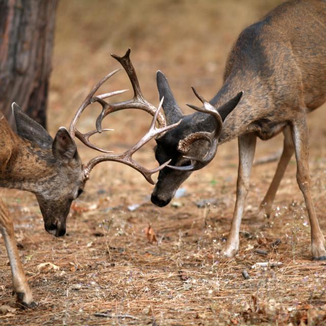 """""""Mule deer bucks sparring with antlers locked (Odocoileus hemionu"""" stock image"""