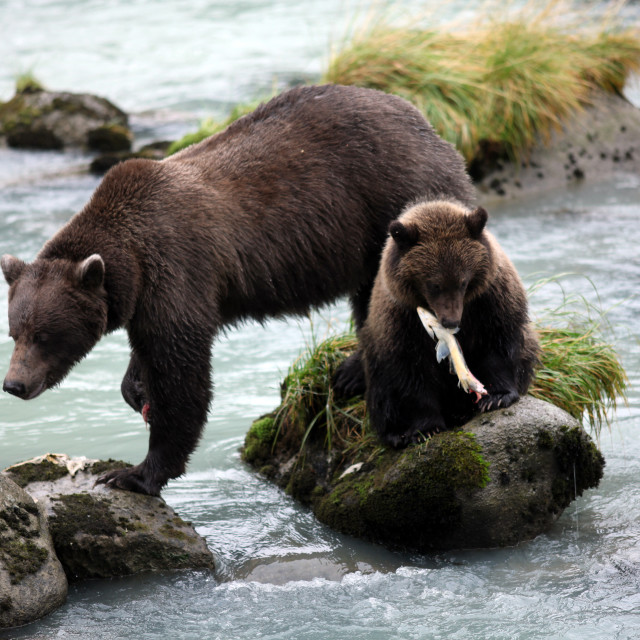 """Brown bear cub holding fish in his mouth with sow by his side (U"" stock image"