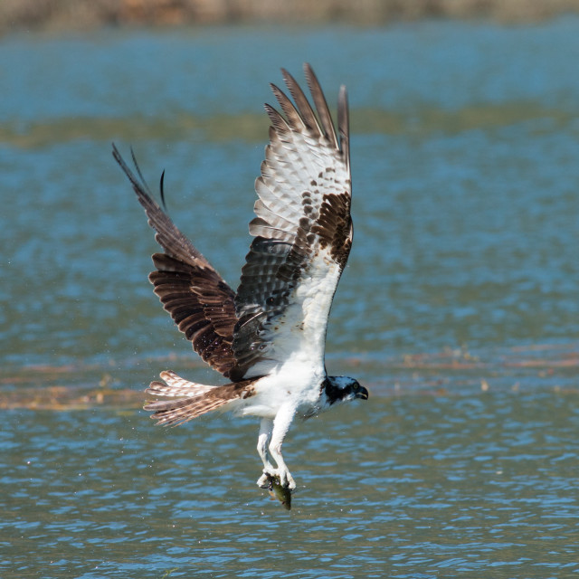 """Osprey catches a fish from the lake and grasps it in his talons."" stock image"