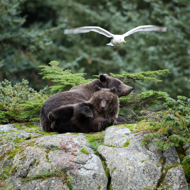 """Brown bear cub with four paws in the air sitting on top of a lar"" stock image"