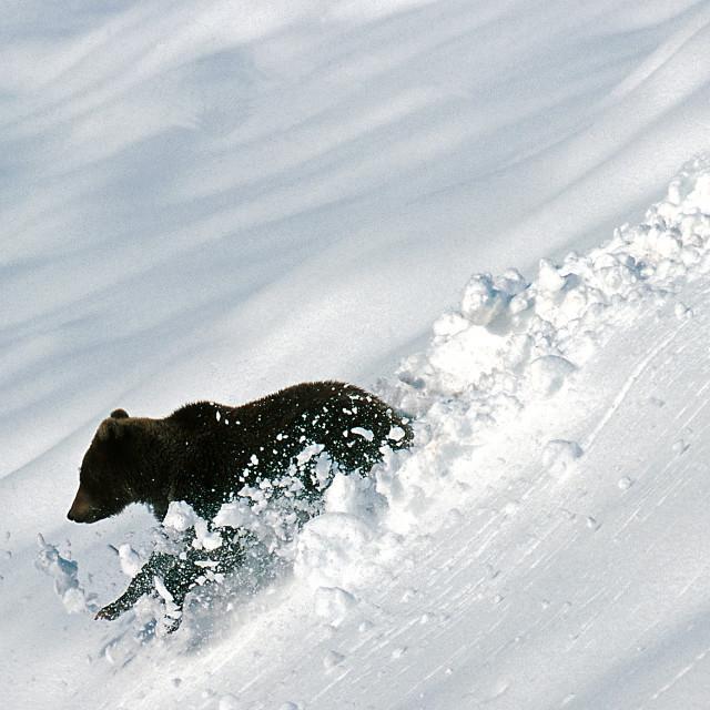 """""""Grizzly bear creates snow balls (Ursus arctos), Alaska, Denali N"""" stock image"""
