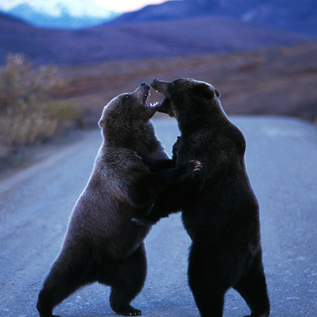 """Grizzly bears standing and fighting in the middle of the road (U"" stock image"