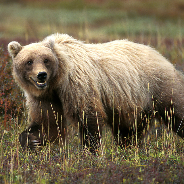 """Grizzly bear walking in grass and tundra (Ursus arctos), Alaska,"" stock image"