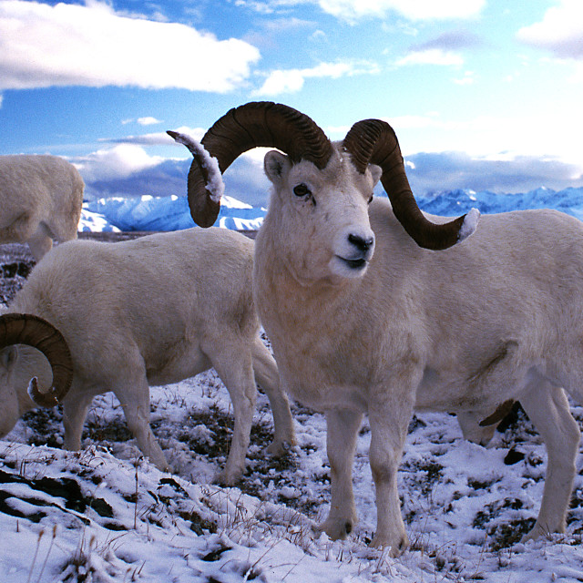 """Dall sheep rams in snow (Ovis dalli), Alaska, Denali National Pa"" stock image"