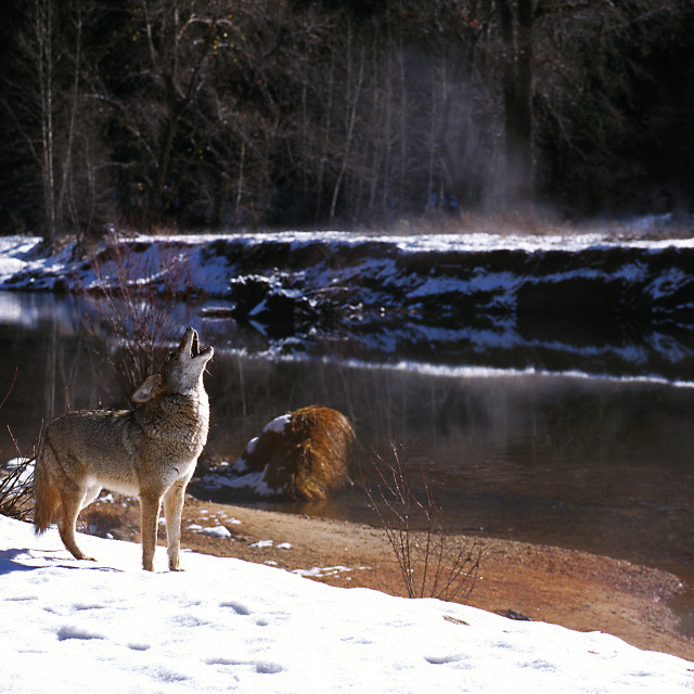 """Coyote in snow howling by river (Canis latrans), California, Yos"" stock image"