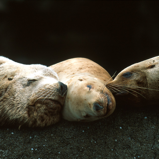 """Steller sea lions sleeping together (Eumetopias jubatus), Alaska"" stock image"