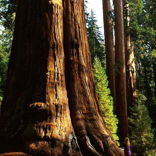 the wonder of the giant sequoias essay