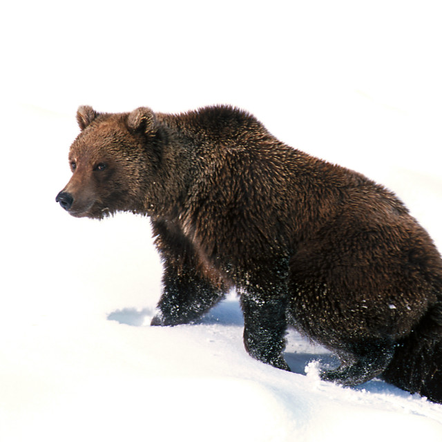 """Grizzly bear walking in fresh snow (Ursus arctos), Alaska, Denal"" stock image"