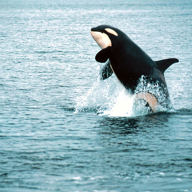 """Killer whale breaching (Orcinus orca), Alaska, Southeast Alaska,"" stock image"