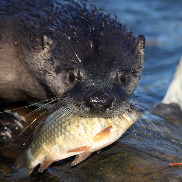 """North American river otter holding a fish in his mouth (Lontra c"" stock image"