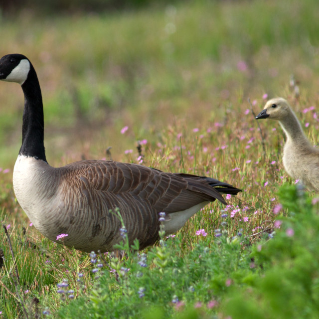 """Canada Geese and goslings walking in flowers"" stock image"