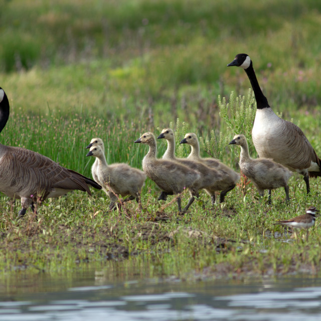 """Canada Geese and goslings walking along the shore."" stock image"