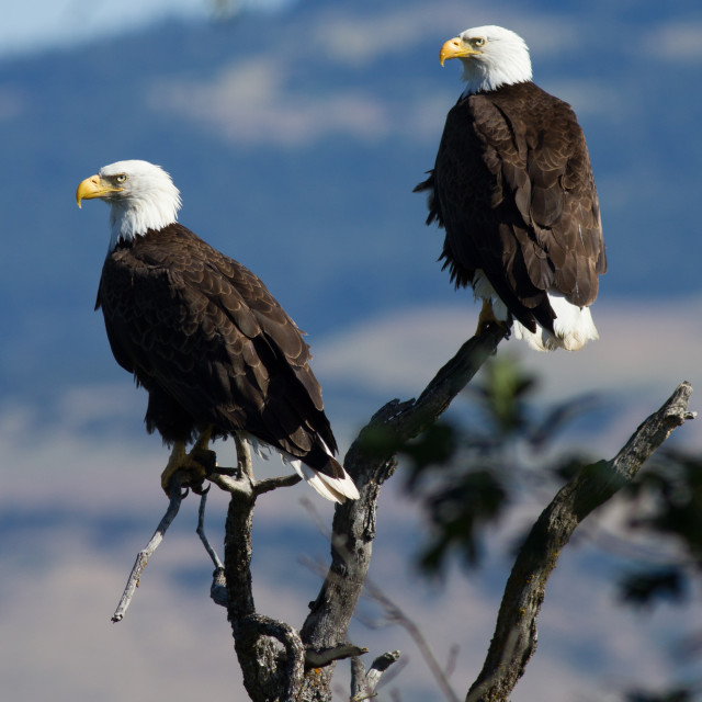 """Bald Eagles sitting in a tree. (Haliaeetus leucocephalus) Oregon"" stock image"